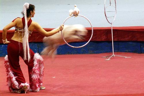дрессировщица прыгает пуделя в кольцо
