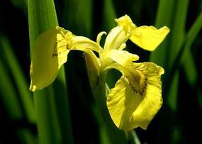 Касатик (ирис) водяной - Iris pseodacorus L.