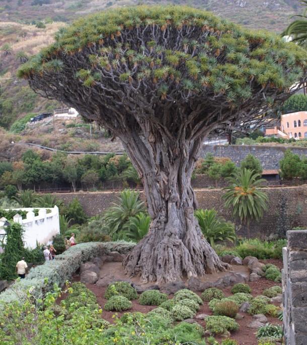 Необычные места, дома и деревья на Земле Dragon-tree-icod-