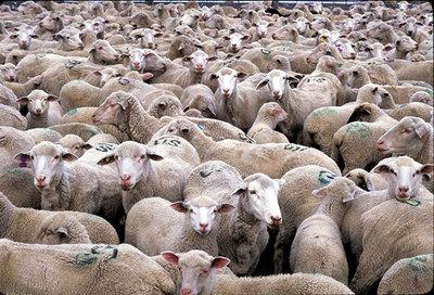 HerdSheepStampedBacks.jpg