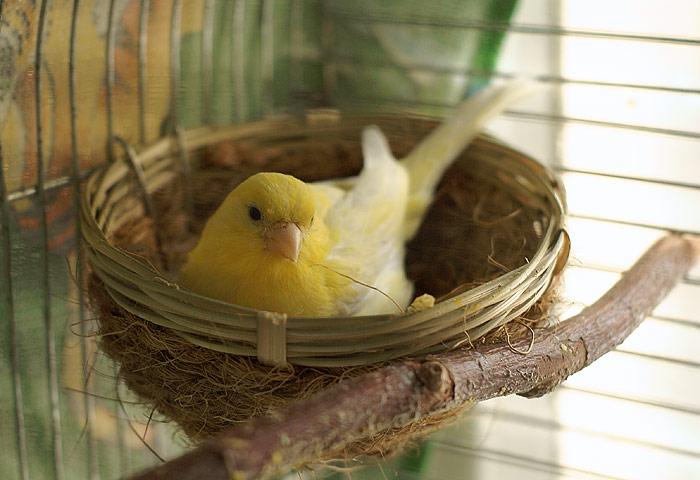 Гнезда для канарейки своими руками