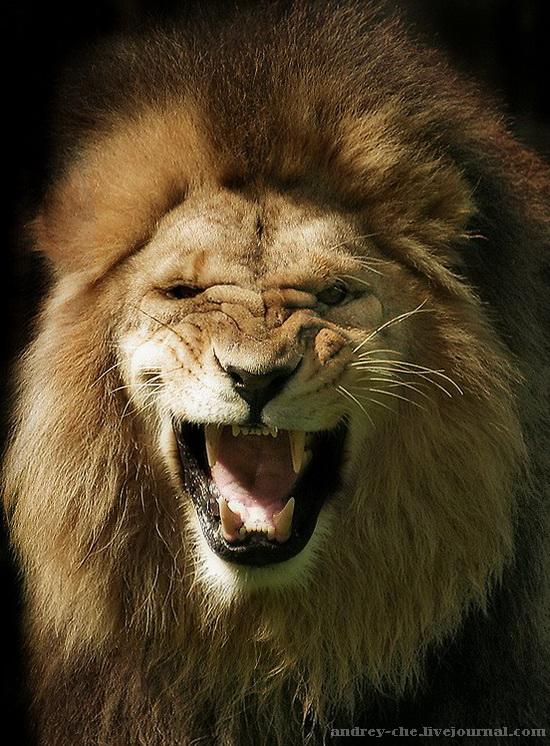 фотография льва