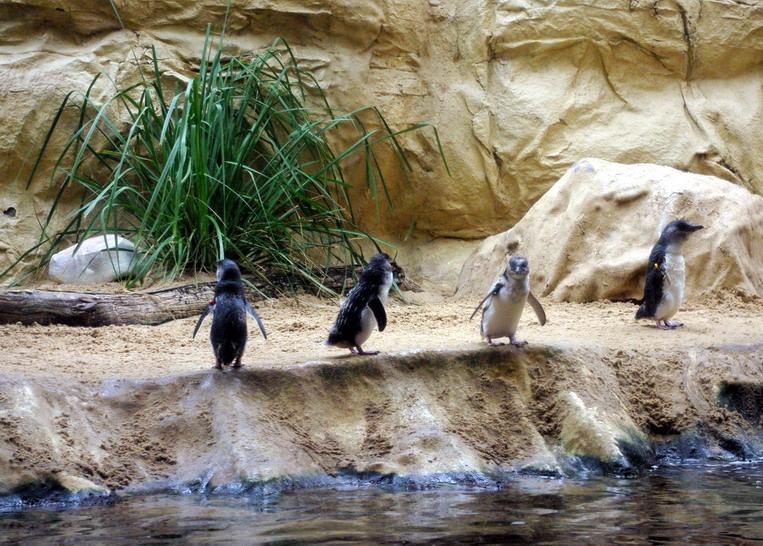Сиднейский Аквариум пингвины
