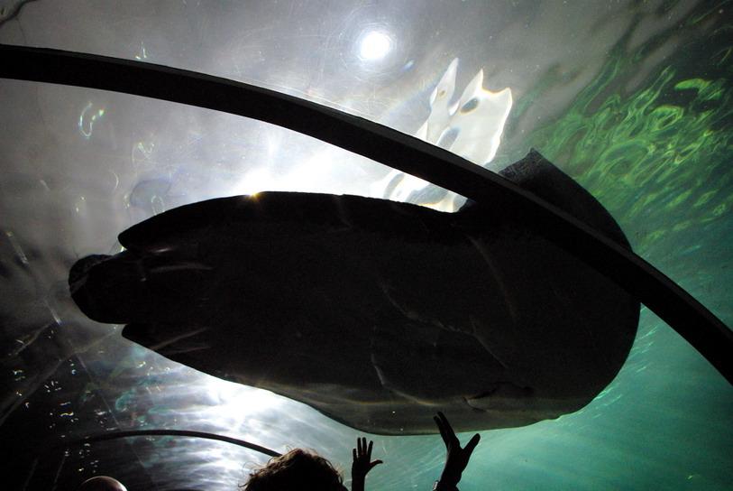 Сиднейский Аквариум скат