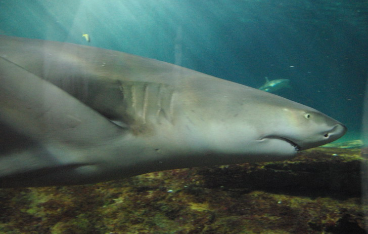 Сиднейский Аквариум акула