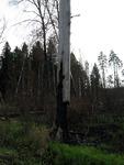 Сильнопрогревшее дерево